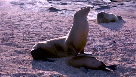 Leones-Marinos-Y-Cachorros-En-Una-Playa-En-Las-Islas-Galápagos