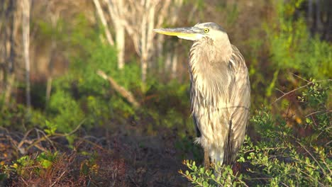 A-great-blue-heron-stands-in-a-wetland-in-the-Galapagos-Islands