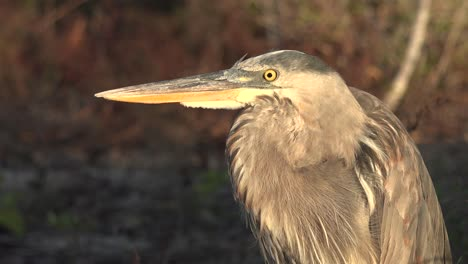 A-great-blue-heron-stands-in-a-wetland-in-the-Galapagos-Islands-1