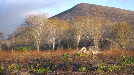 A-great-blue-heron-walks-along-a-beach-in-the-Galapagos-Islands