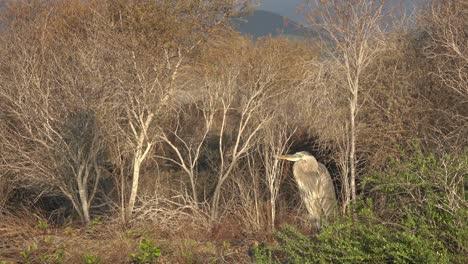 Una-Gran-Garza-Azul-Se-Encuentra-En-Un-Humedal-En-Las-Islas-Galápagos-2