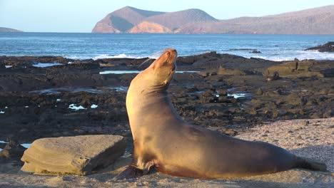 Un-León-Marino-Saluda-A-Los-Visitantes-De-La-Isla-Galápagos