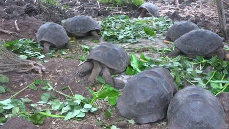 Las-Tortugas-Terrestres-Se-Alimentan-De-Vegetación-En-La-Estación-De-Investigación-Charles-Darwin-En-Puerto-Ayora-Galápagos-Ecuador