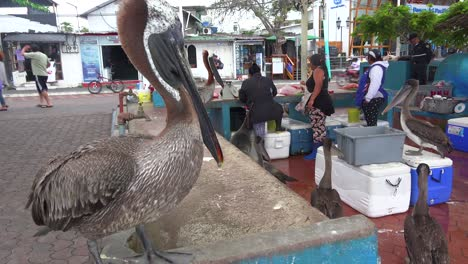 Pelicans-sit-above-the-fish-market-at-Puerto-Ayora-Galapagos-Ecuador
