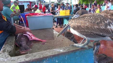 Pelicans-sit-above-the-fish-market-at-Puerto-Ayora-Galapagos-Ecuador-1