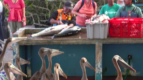 Pelicans-try-to-get-a-scrap-of-food-in-the-fish-market-at-Puerto-Ayora-Galapagos-Ecuador-1