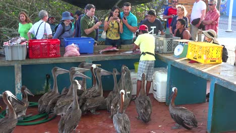 Pelicans-try-to-get-a-scrap-of-food-in-the-fish-market-at-Puerto-Ayora-Galapagos-Ecuador-2