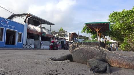 Una-Iguana-Duerme-En-Las-Calles-De-La-Ciudad-De-Puerto-Ayora-Galápagos-Ecuador