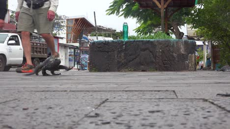 An-iguana-moves-along-on-the-city-streets-of-Puerto-Ayora-Galapagos-Ecuador-scared-by-tourists