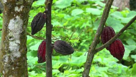 El-árbol-Del-Cacao-Del-Que-Se-Extrae-El-Chocolate-Crece-En-Las-Selvas-De-Ecuador