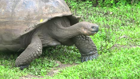 A-giant-land-tortoise-walks-through-grass-and-approaches-fresh-water-in-the-Galapagos-Islands-Ecuador