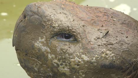 Extreme-close-up-of-the-muddy-face-of-a-giant-land-tortoise-in-the-Galapagos-Islands-Ecuador