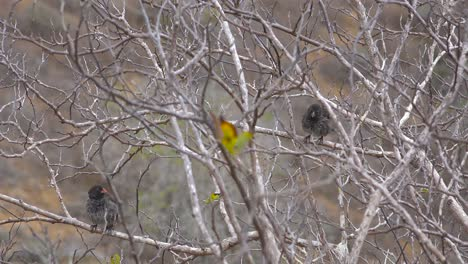 Charles-Darwin-finches-sit-in-a-tree-in-the-Galapagos-Islands-Ecuador