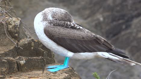 A-blue-footed-booby-sleeps-on-a-cliff-face-in-the-Galapagos-Islands-Ecuador