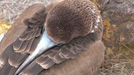 Nahaufnahme-Des-Gesichts-Eines-Schlafenden-Blaufußtölpels-Auf-Den-Galapagos-Inseln-Ecuador