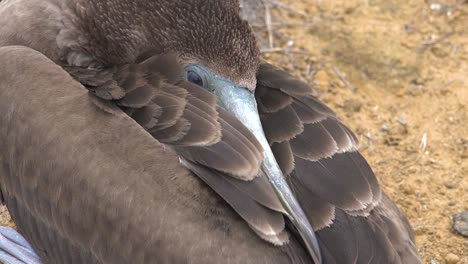 Cerca-De-La-Cara-De-Un-Piquero-De-Patas-Azules-Durmiendo-En-Las-Islas-Galápagos-Ecuador-1