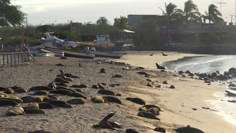 Dozens-of-sea-lions-lounge-on-the-beach-at-Puerto-Baquerizo-Moreno-harbor-the-capital-city-of-the-Galapagos-Islands-Ecuador