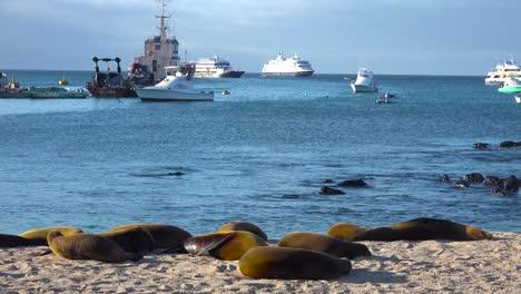 Dozens-of-sea-lions-lounge-on-the-beach-at-Puerto-Baquerizo-Moreno-harbor-the-capital-city-of-the-Galapagos-Islands-Ecuador-3