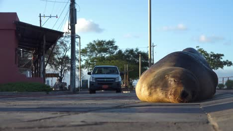 An-adult-sea-lion-sleeps-on-a-road-or-highway-as-cars-drive-by-in-the-background