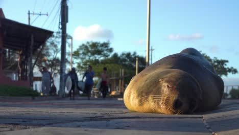 An-adult-sea-lion-sleeps-on-a-road-or-highway-as-surfers-walk-by-in-the-background