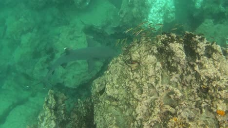 A-white-tipped-reef-shark-swim-underwater-in-the-Galapagos-Islands