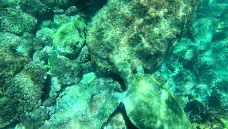 Beautiful-underwater-footage-of-a-sea-turtle-swimming-in-the-Galapagos-Islands-Ecuador-1