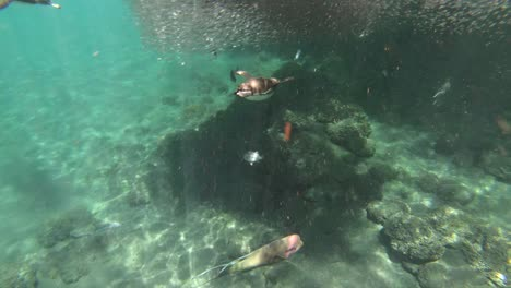 Galapagos-penguins-hunt-anchovies-underwater-in-a-huge-bait-ball-4