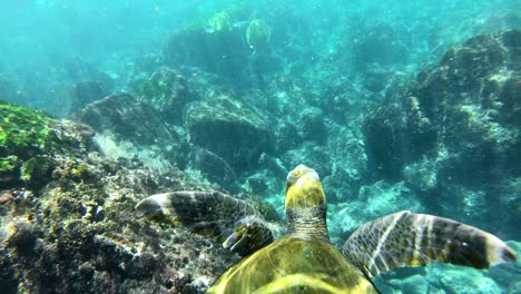 Beautiful-underwater-footage-of-a-sea-turtle-swimming-in-the-Galapagos-Islands-Ecuador-3