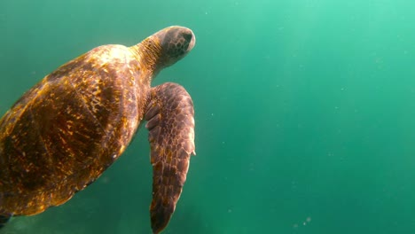 Beautiful-underwater-footage-of-a-sea-turtle-swimming-in-the-Galapagos-Islands-Ecuador-4