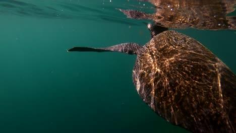 Beautiful-underwater-footage-of-a-sea-turtle-swimming-in-the-Galapagos-Islands-Ecuador-5
