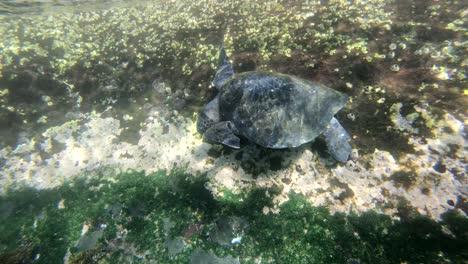 Underwater-footage-of-a-sea-turtle-feeding-on-the-ocean-floor-in-the-Galapagos-Islands-Ecuador