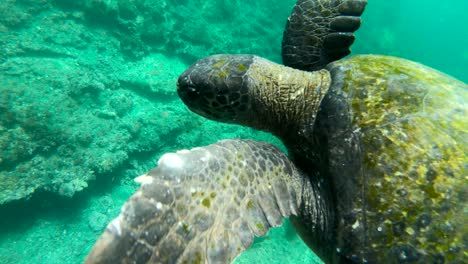 Beautiful-underwater-footage-of-a-sea-turtle-swimming-in-the-Galapagos-Islands-Ecuador-6