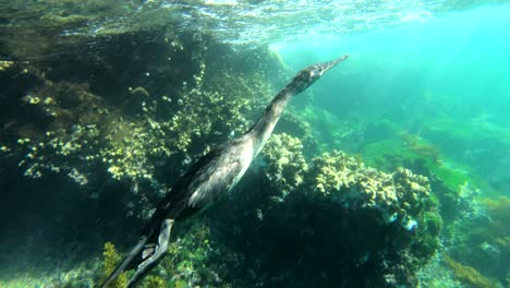 Remarkable-footage-of-a-cormorant-bird-diving-and-swimming-underwater-in-the-Galapagos-Islands-Ecuador