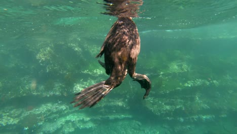 Remarkable-footage-of-a-cormorant-bird-diving-and-swimming-underwater-in-the-Galapagos-Islands-Ecuador-3