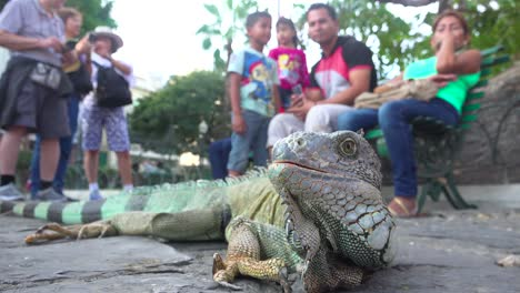An-iguana-sits-amidst-people-in-a-public-park-in-Guayaquil-Ecuador