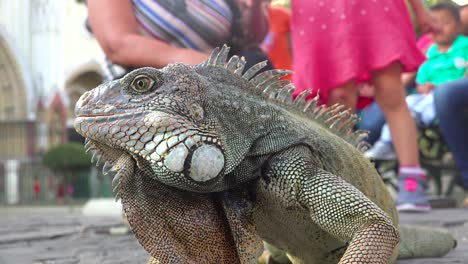 An-iguana-sits-amidst-people-in-a-public-park-in-Guayaquil-Ecuador-1