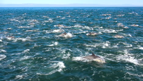 Thousands-of-dolphins-migrate-in-a-massive-pod-through-the-Channel-Islands-National-Park-4
