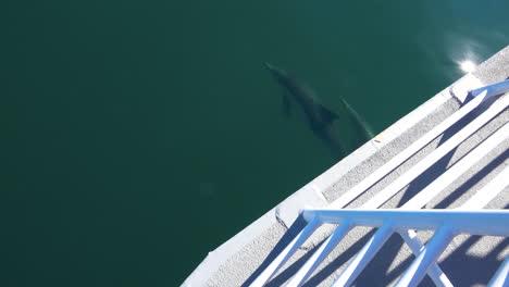 Hermosas-Fotos-De-Delfines-Nadando-En-La-Proa-De-Un-Barco-O-Bote-Moviéndose-Por-El-Agua