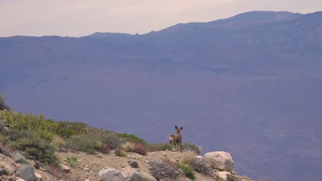 Two-female-mule-deer-stand-on-a-cliff-precipice-high-in-the-Sierra-Nevada-mountains