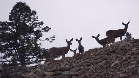 Juvenile-female-mule-deer-stand-alert-on-a-hillside-in-the-Eastern-Sierra-Nevada-mountains