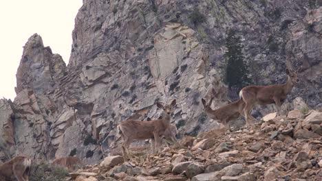 Juvenile-female-mule-deer-graze-on-a-hillside-in-the-Eastern-Sierra-Nevada-mountains-1