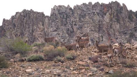 Juvenile-female-mule-deer-graze-on-a-hillside-in-the-Eastern-Sierra-Nevada-mountains-3