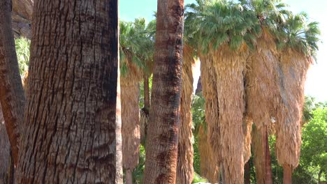 A-grove-of-palm-trees-near-Palm-Desert-California