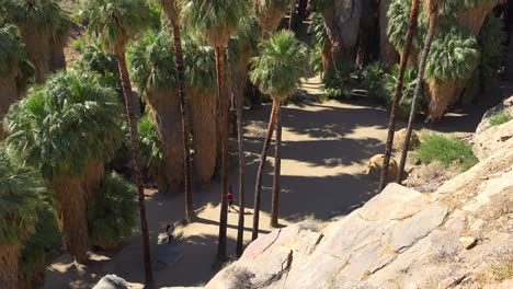 Tilt-up-of-a-grove-of-palm-trees-or-Palm-forest-near-Palm-Springs-California