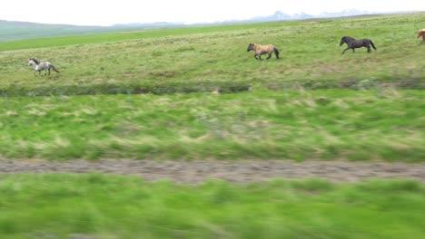 Hermosa-Foto-De-Viaje-De-Ponis-Islandés-Caballos-Corriendo-Por-La-Campiña-De-Islandia