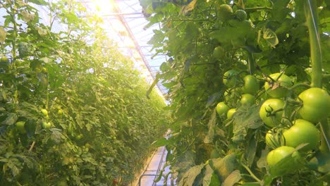 Interior-establishing-shot-of-an-Iceland-greenhouse-using-geothermal-hot-water-to-grow-tomatoes-2