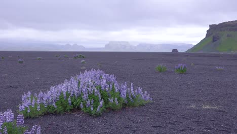 Purple-lupine-flowers-grow-in-a-stark-volcanic-landscape-in-Iceland