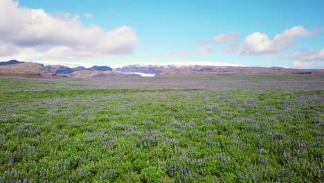 Antena-Sobre-Vastos-Campos-De-Flores-De-Lupino-Que-Crecen-En-Las-Montañas-Del-Sur-De-Islandia