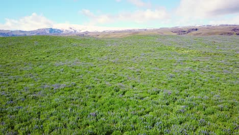 Aerial-over-vast-fields-of-lupine-flowers-growing-in-the-southern-mountains-of-Iceland-1