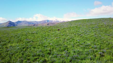 Rising-aerial-over-vast-fields-of-lupine-flowers-growing-in-the-southern-mountains-of-Iceland
